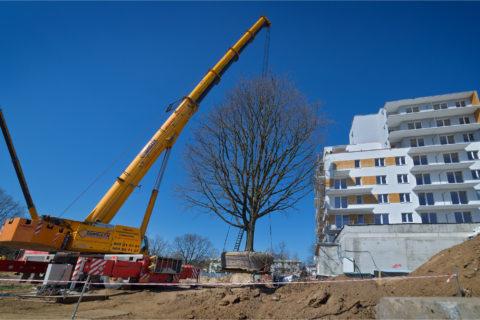 BARC Warszawa przesądził trzy dęby szypułkowe, każdy po 70 ton na osiedlu Comfort City_Tarchomin_Białołęka