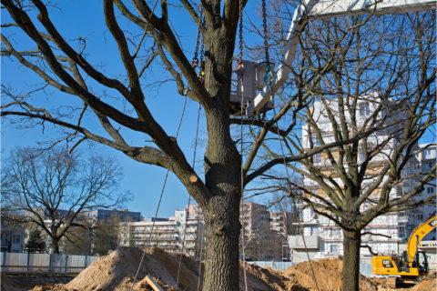 przesadzamy dęby szypułkowe na osiedlu Comfort City_ drugi etap Ametyst_BARC Warszawa_Tarchomin_Białołęka_1